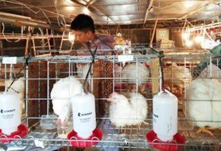 Teliti Efektivitas Kandidat Probiotik Untuk Optimalkan Kualitas Ayam Ternak, Hardi Julendra Raih Gelar Doktor